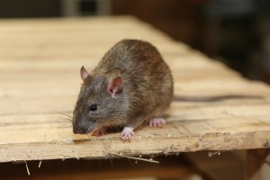 Rodent Control, Pest Control in Stratford, West Ham, E15. Call Now 020 8166 9746
