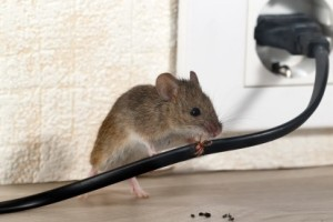 Mice Control, Pest Control in Stratford, West Ham, E15. Call Now 020 8166 9746