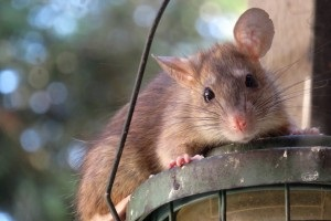 Rat Control, Pest Control in Stratford, West Ham, E15. Call Now 020 8166 9746